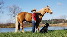 Palomino Quarter Horse in Greensboro, NC