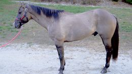 Grulla Quarter Horse in Hollis, NH