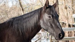 Black Quarter Horse in Charleston, WV