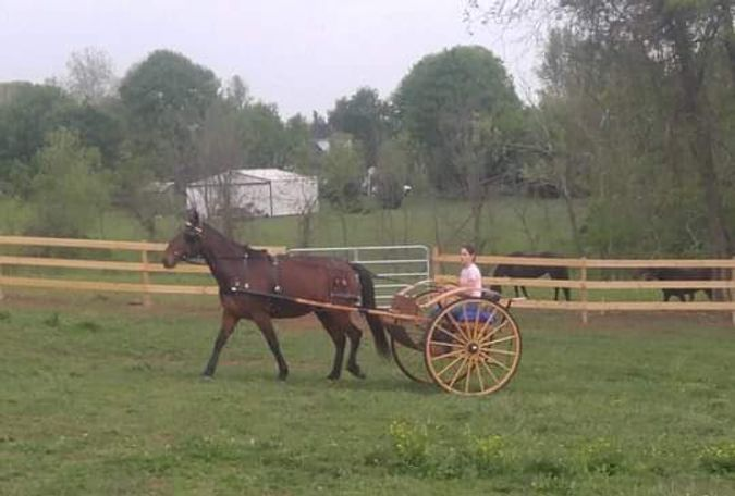 Bay Standardbred in Cottontown, TN
