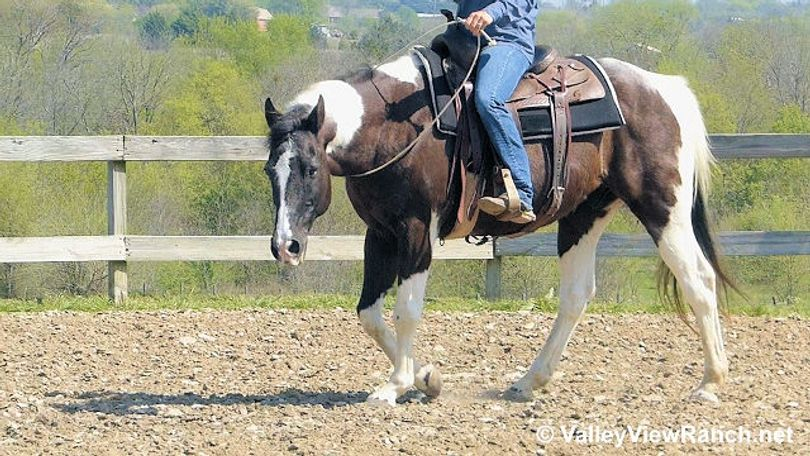 Pinto Quarter Horse in Dallas, TX