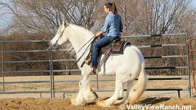 Grey Gypsy Vanner in Dallas, TX