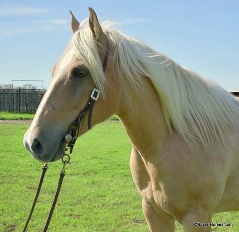 Palomino Quarter Horse in Weatherford, TX