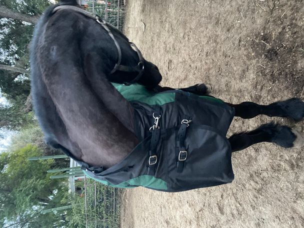 Black Friesian in Los Angeles, CA