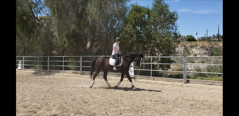 Black Belgian Warmblood in Canyon Country, CA