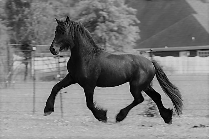 Black Friesian in Toney, AL