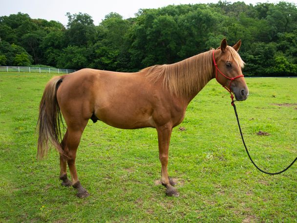 Sorrel Tennessee Walker in Union, MO