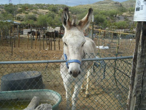 Grey Donkey in wikieup, AZ
