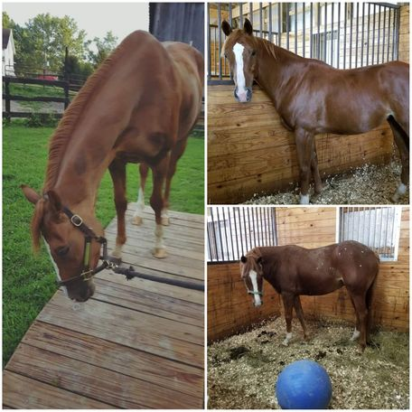 Chestnut Thoroughbred in Crandall, IN