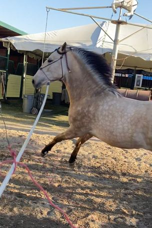 Buckskin Andalusian in Los Angeles, CA