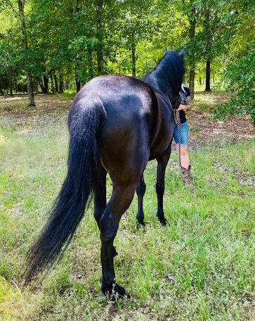 Black Tennessee Walker in Canton, TX