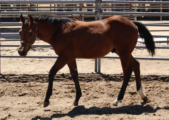 Bay Quarter Horse in APPLE VALLEY, CA