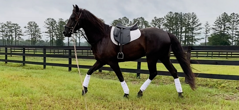 Black Friesian in Morriston, FL