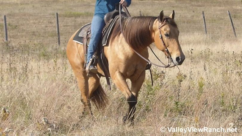 Buckskin Quarter Horse in Dallas, TX