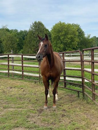 Chestnut Thoroughbred in Richmond, IL