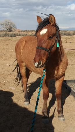 Dun Quarter Horse in Los Lunas, NM