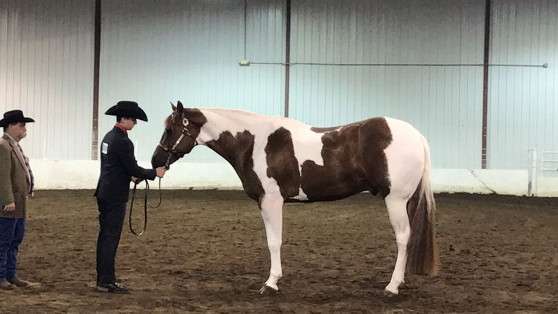 Sorrel Paint (Tobiano) in Dunlap, IL