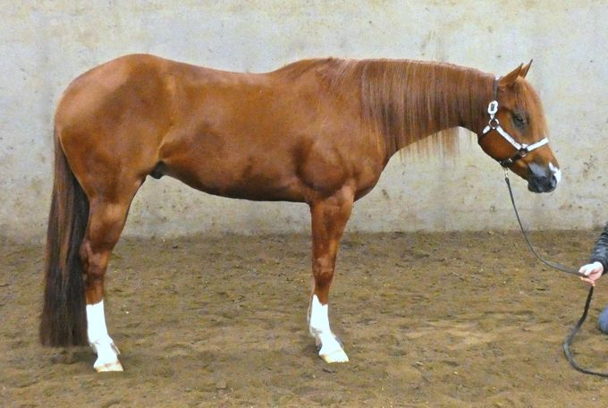 Sorrel Quarter Horse in Howell, MI