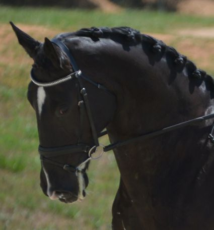 Black Irish Sport Horse in Lexington,, KY