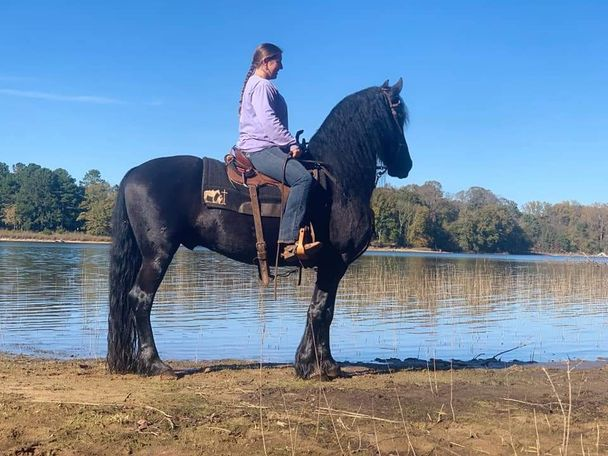 Black Friesian in Homer, GA