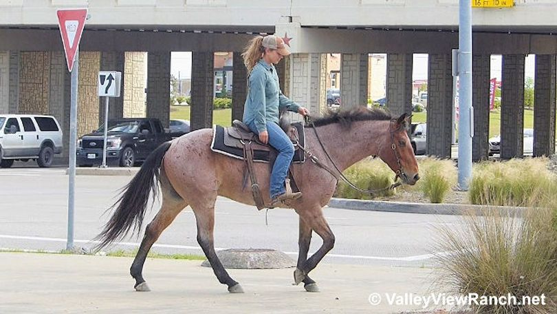 Bay Quarter Horse in Dallas, TX