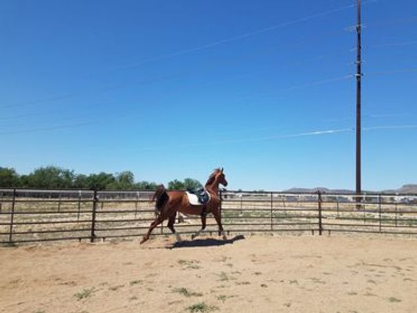 Chestnut Arabian in Chino Valley, AZ