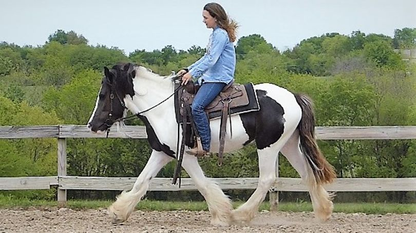 Black Gypsy Vanner in Dallas, TX
