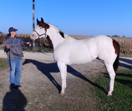 Bay Paint (Tobiano) in Clarence, IA