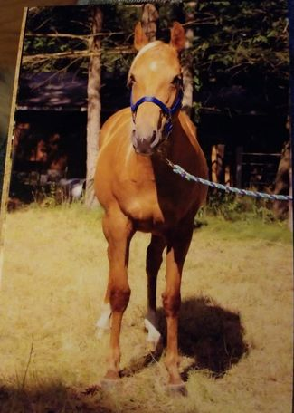 Palomino Quarter Horse in TWIN LAKE, MI
