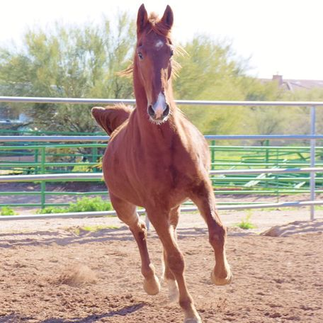 Chestnut American Saddlebred in New River, AZ