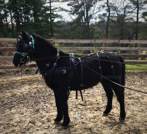 Black Welsh Pony in Jackson, OH