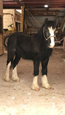 Black Gypsy Cob in Amberg, WI