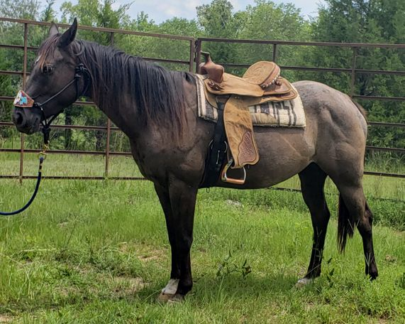 Roan Quarter Horse in Hodges, SC