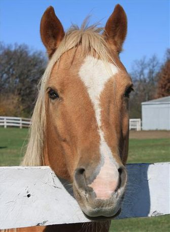 Palomino Quarter Pony in Woodstock, IL