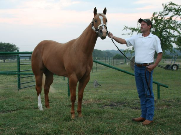 Palomino Quarter Horse in Greenville, TX