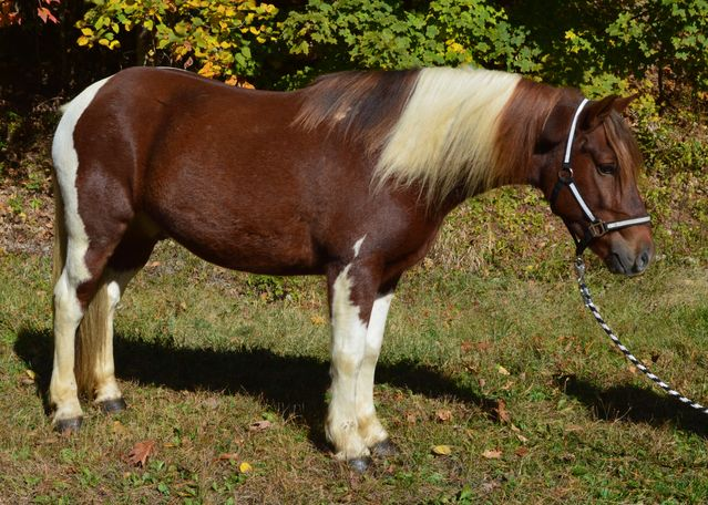 Bay Gypsy Vanner in Hollis, NH