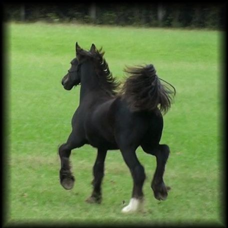 Black Gypsy Vanner in El Dorado, AR