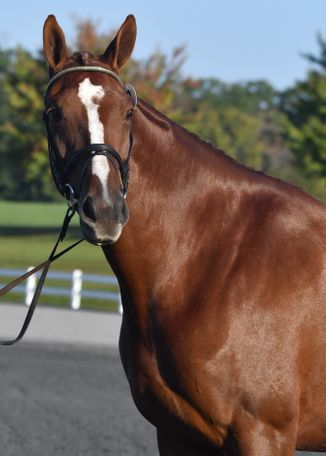 Chestnut Thoroughbred Cross in Middletown, MD