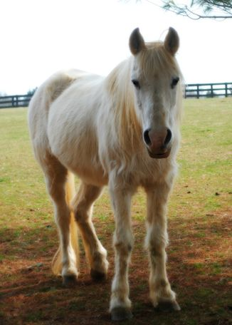 White Arabian in lovettsville, VA