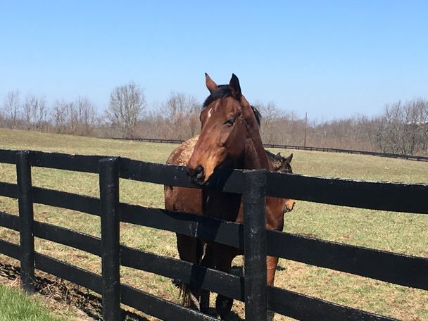 Bay Thoroughbred in Lexington, KY