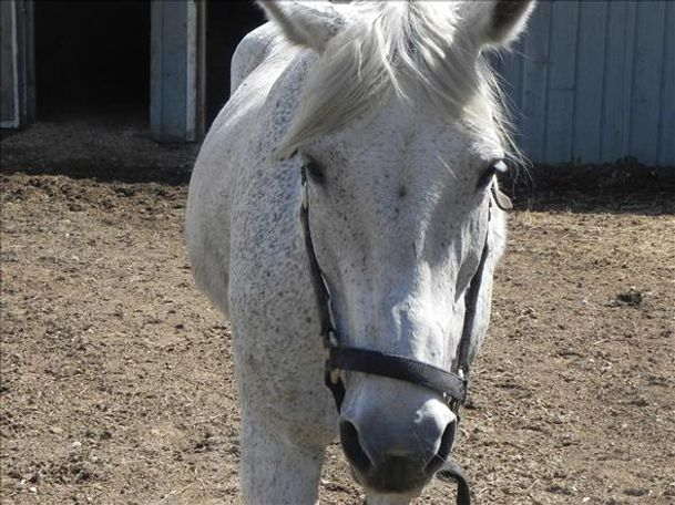 Grey Percheron in Woodstock, IL