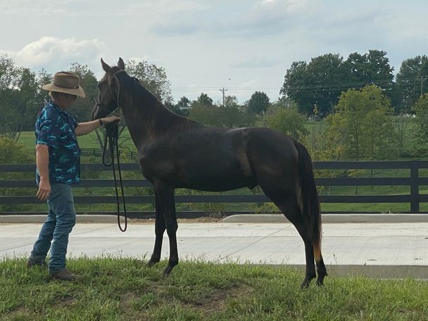 Black Tennessee Walker in Crittenden, KY