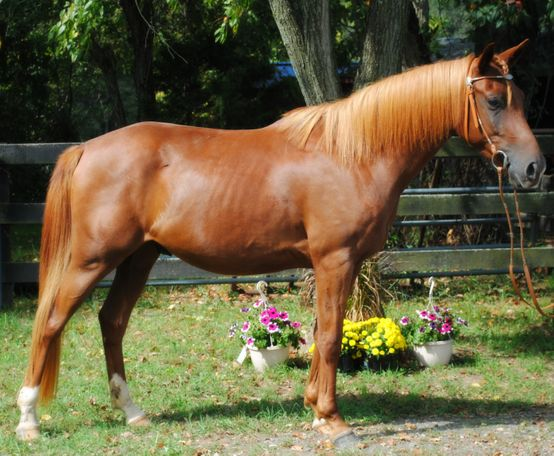 Chestnut Quarter Horse in Lovettsville, VA