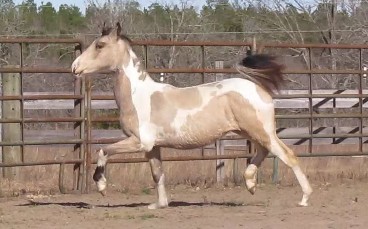 Buckskin American Saddlebred in Kershaw, SC