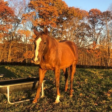 Chestnut Thoroughbred in Billerica, MA