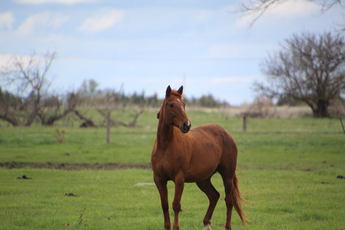 Chestnut Quarter Horse in Scotland, SD