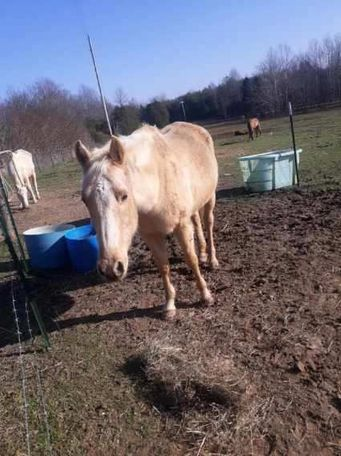 Palomino Quarter Horse in Leitchfield, KY