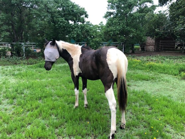 Black Paint (Tobiano) in Arlington, TX