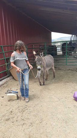 Grey Donkey in Alpine, AZ
