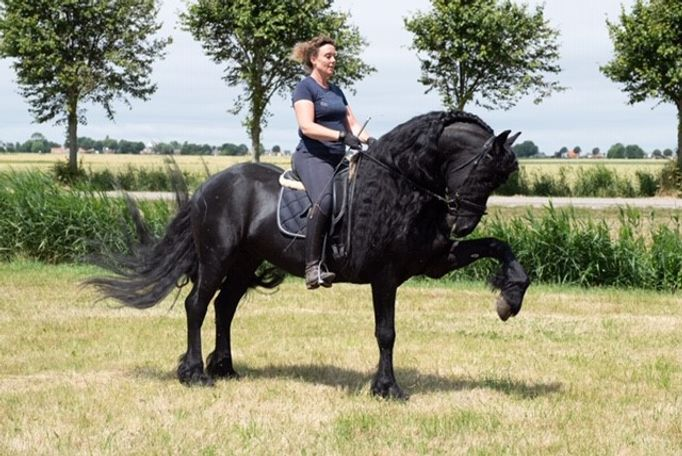 BIG MOVING Friesian Stallion for sale at BLACKFRIESIANIMPORTS, SPORT